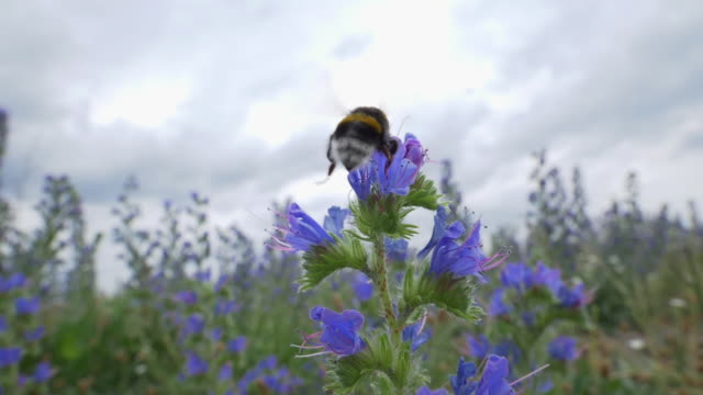 bumblebee collects pollen on viper´s bugloss, slow motion - pollination stock videos & royalty-free footage