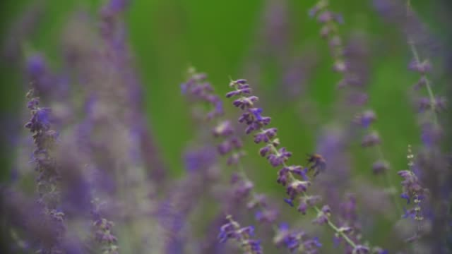 a bumblebee collects some pollen from some lavender in the park. - wildlife stock videos & royalty-free footage