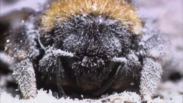 bumblebee defrosting