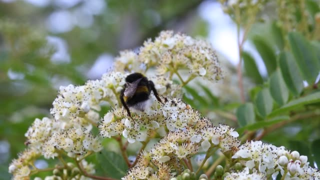 A Bumblebee feeding on nectar from flowers on a Rowan, or Mountain Ash tree.