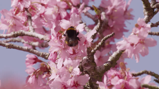 vídeos de stock, filmes e b-roll de bumblebee (bombus) feeds on cherry blossom (prunus) in spring, wales - abelha