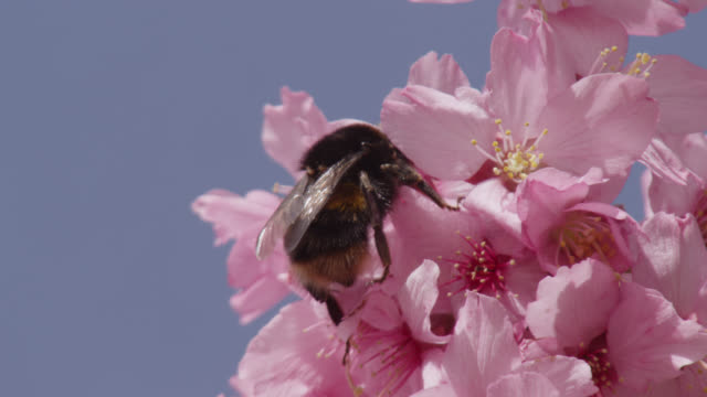 vídeos de stock, filmes e b-roll de bumblebee (bombus) feeds on cherry blossom (prunus) in spring, wales - polinização