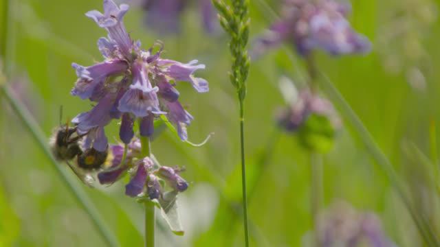 vídeos de stock e filmes b-roll de bumblebee feeds on flowers, canada - grupo pequeno de animais