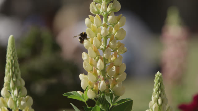 vídeos de stock, filmes e b-roll de bumblebee (bombus) feeds on lupin flowers in cathedral grounds, bristol, england - polinização