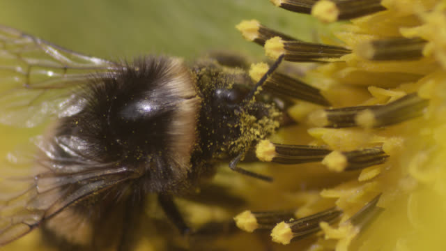 bumblebee (bombus) feeds on sunflower (helianthus) in field, worcestershire, england - bumblebee stock videos & royalty-free footage
