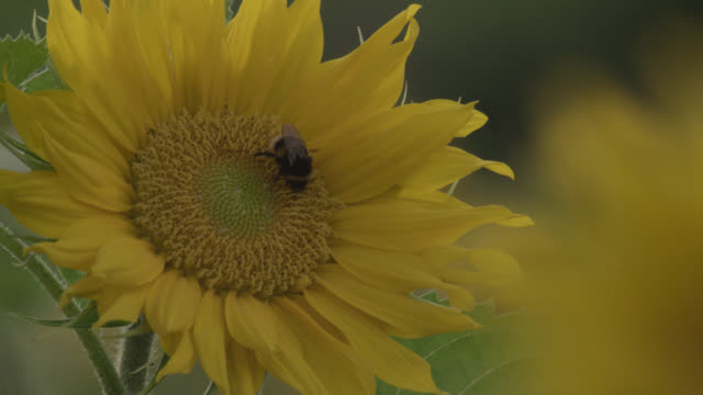 Bumblebee (Bombus) feeds on sunflower (Helianthus) in field, Worcestershire, England