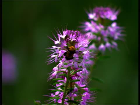 vídeos de stock, filmes e b-roll de a bumblebee flies around pink flowers. - mangangá