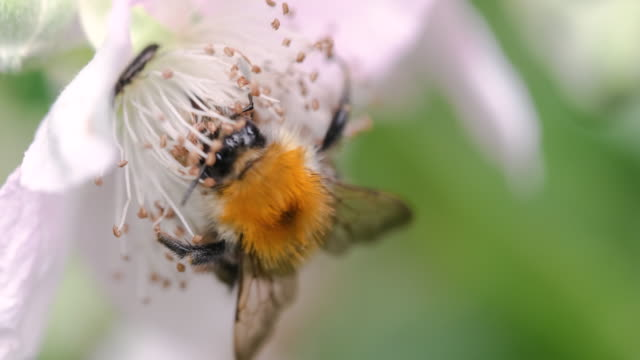 a bumblebee flying and collecting pollen from the blackberry blossoms in the nature - bud stock videos & royalty-free footage