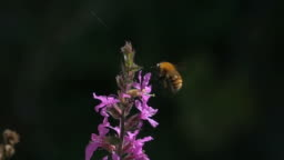 Bumblebee flying and pollinating purple red flowers