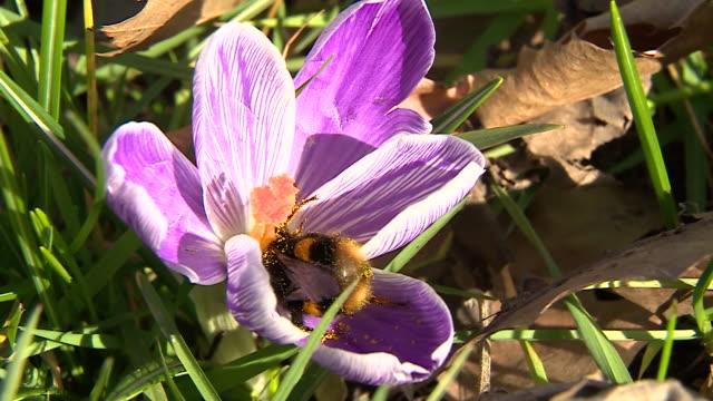 a bumblebee flying between flowers in kew gardens - bee stock videos & royalty-free footage