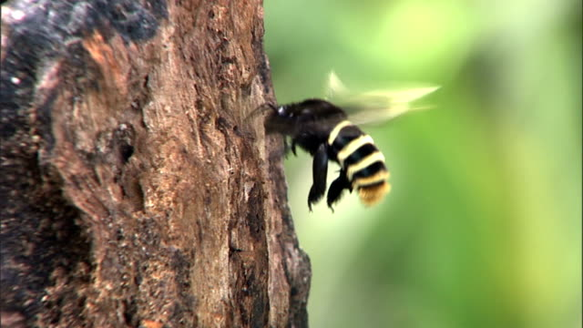 a bumblebee forages on the trunk of a decayed tree. - bumblebee stock videos & royalty-free footage