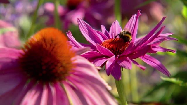 bumblebee in flower - purple stock videos & royalty-free footage