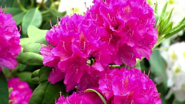 bumblebee in rhododendron - bumblebee stock videos & royalty-free footage