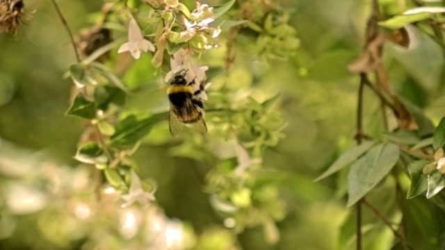 Bumblebee in slow motion