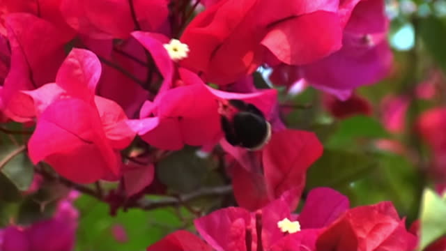 a bumblebee lands on a vibrant red flower. - bee stock videos & royalty-free footage