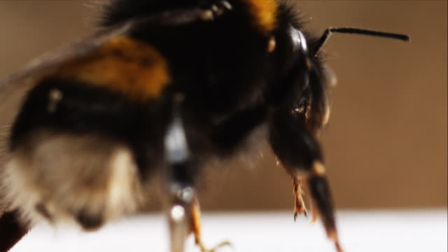 bumblebee macro (1080p) - bumblebee stock videos & royalty-free footage