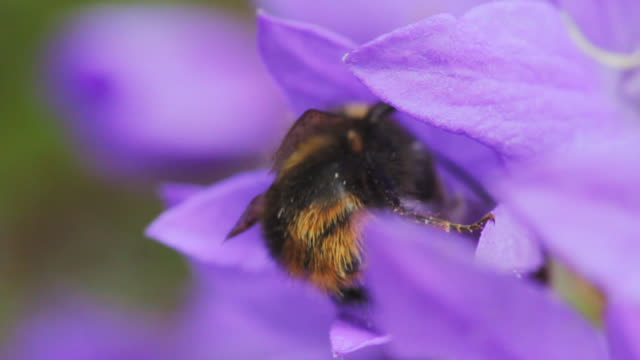 bumblebee on a purple flower - bumblebee stock videos & royalty-free footage