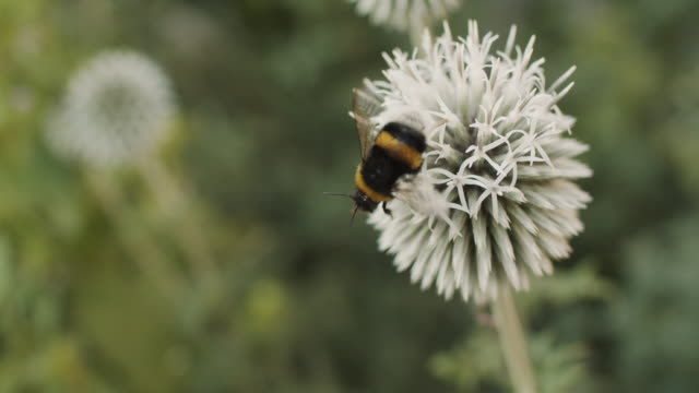 bumblebee on a white flower - bumblebee stock videos & royalty-free footage