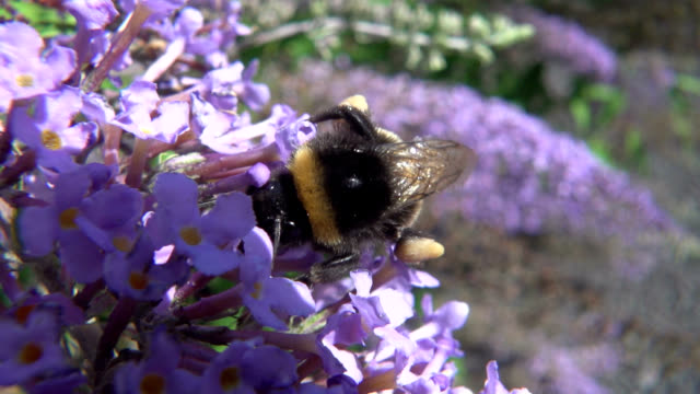 bumblebee on buddleja - 40 o più secondi video stock e b–roll