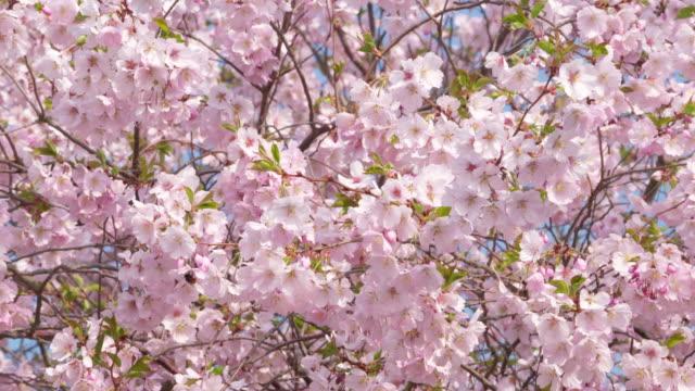 Bumblebee on cherry tree blossom (Prunus serrulata) in spring.