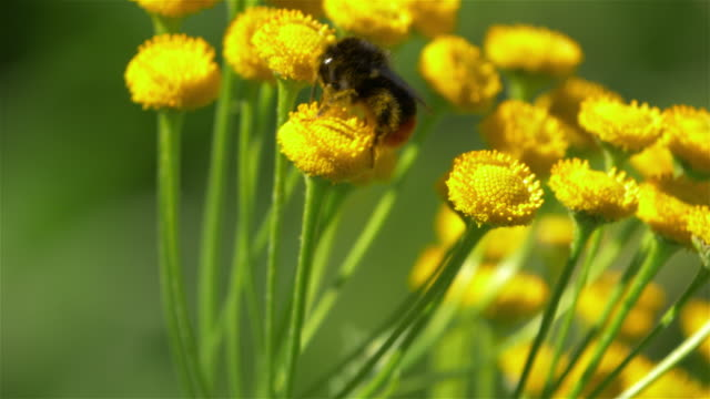 bumblebee on flower macro - bumblebee stock videos & royalty-free footage