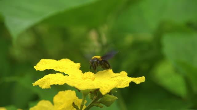 Bumblebee On Flower Slow