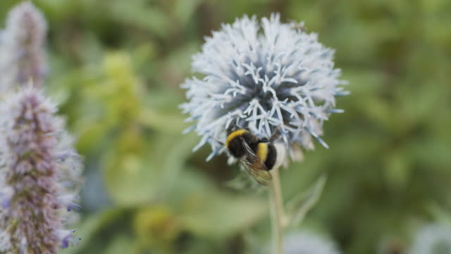 bumblebee on flowers - bumblebee stock videos & royalty-free footage