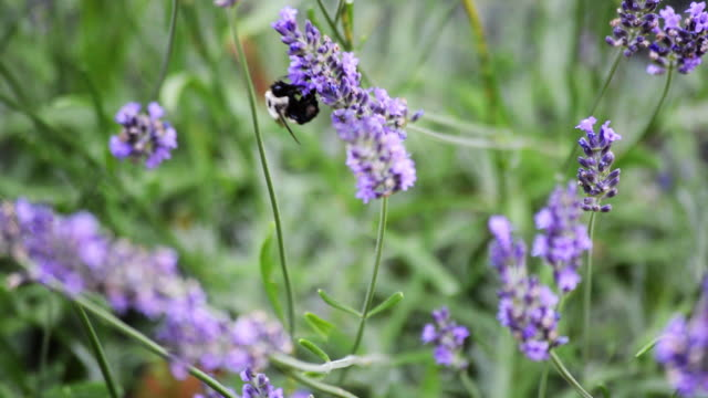 bumblebee on lavender flower - lavender stock videos & royalty-free footage