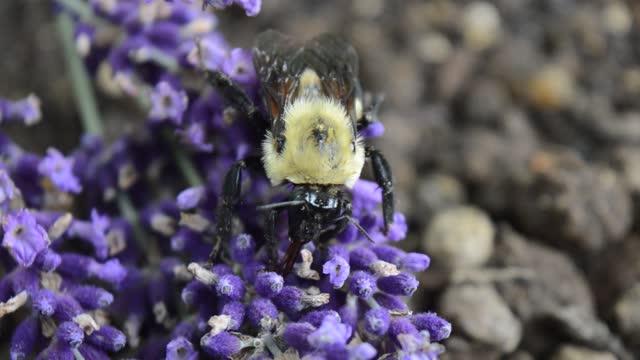 bumblebee on lavender flower - lancaster pennsylvania stock videos & royalty-free footage