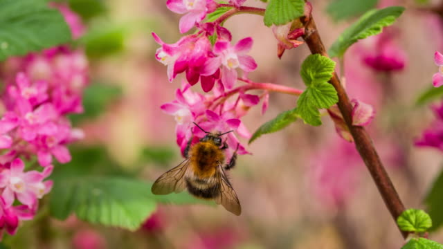 bumblebee on pink flower - slow motion - bumblebee stock videos & royalty-free footage