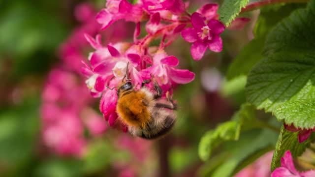 vídeos de stock, filmes e b-roll de abelha em flor de rosa - mangangá