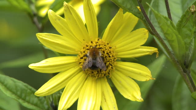bumblebee on stigma and stamen of flower - stamen stock videos & royalty-free footage