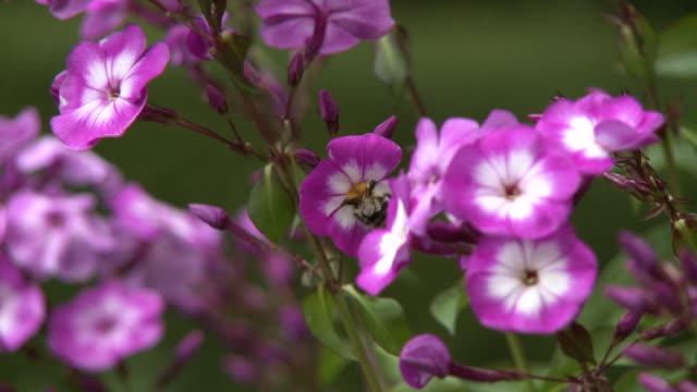 vídeos de stock e filmes b-roll de bumblebee pollinating pink flower - estame