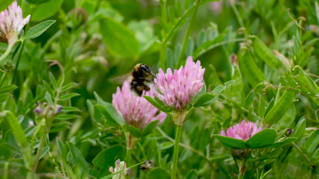 bumblebee sucks nectar from a flower on may 17, 2019 in berlin, germany. may 20 is world bee day, which is drawing more attention this year in... - bumblebee stock videos & royalty-free footage