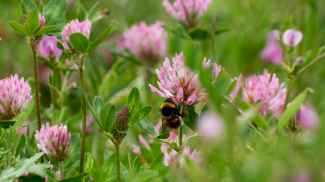 vídeos de stock, filmes e b-roll de a bumblebee sucks nectar from a flower on may 17 2019 in berlin germany may 20 is world bee day which is drawing more attention this year in... - mangangá