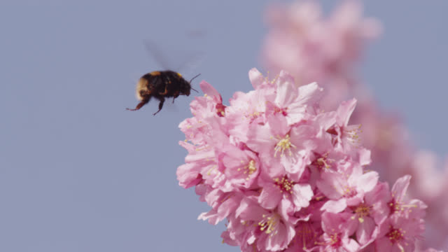 bumblebee (bombus) takes off from cherry blossom (prunus) in spring, wales - ape video stock e b–roll