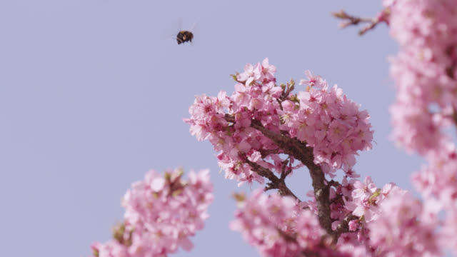bumblebee (bombus) takes off from cherry blossom (prunus) in spring, wales - bumblebee stock videos & royalty-free footage