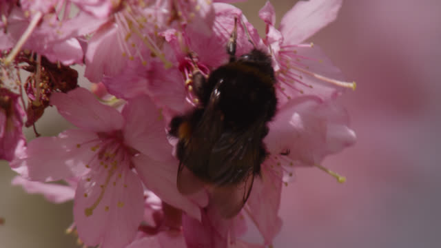 Bumblebee (Bombus) takes off from cherry blossom (Prunus) in spring, Wales