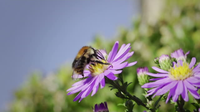 SLOW MOTION: Bumblebee