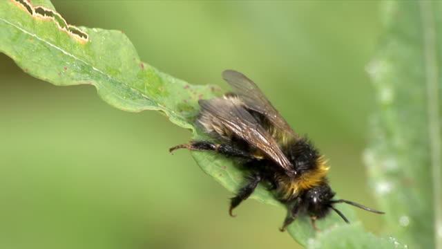 bumblebee - hd 25 fps stock videos & royalty-free footage
