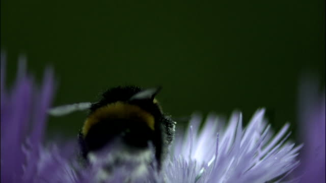 stockvideo's en b-roll-footage met bumblebee - bij