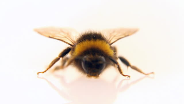 bumblebee walking - loopable, hd - bumblebee stock videos & royalty-free footage
