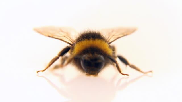Bumblebee walking - loopable, HD