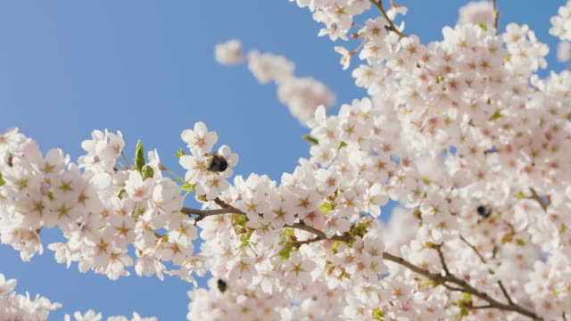bumblebees in a cherry blossom tree - pollination stock videos & royalty-free footage