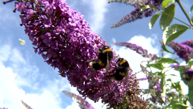 bumblebees on buddleja - bumblebee stock videos & royalty-free footage