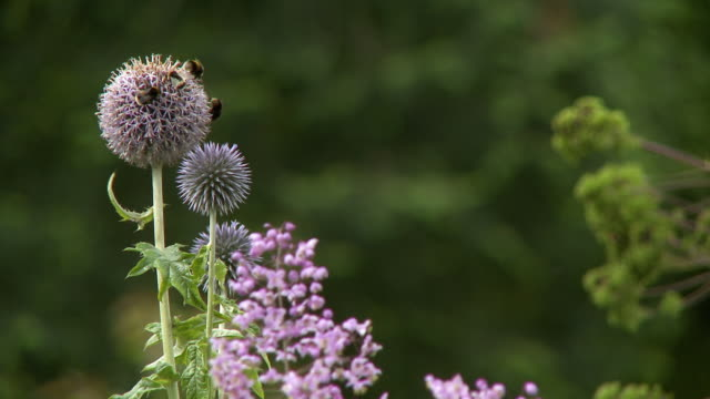 bumblebees on perennial wildflower - perennial stock videos & royalty-free footage