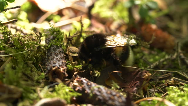 bumlebee on forest floor - insect stock videos & royalty-free footage
