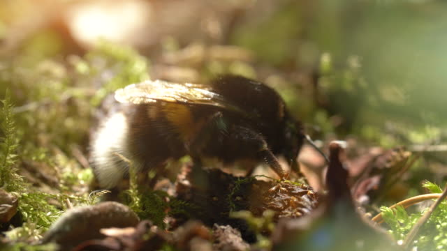 bumlebee on forest floor - bumblebee stock videos & royalty-free footage