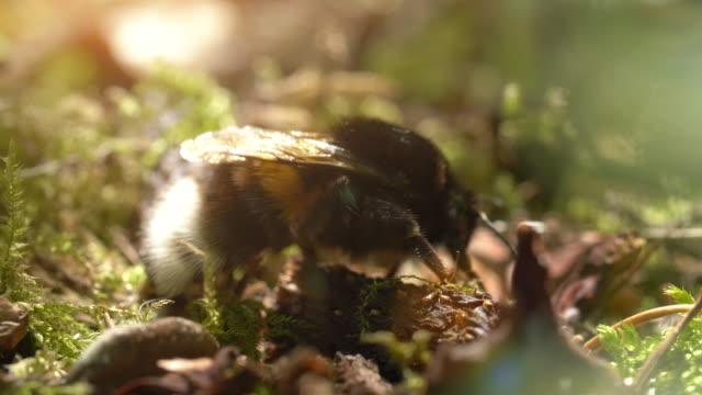 bumlebee auf waldboden - land stock-videos und b-roll-filmmaterial