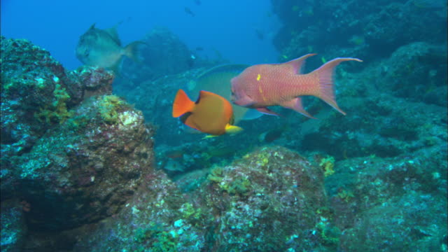 bump head parrot fish over reef, mexico  - tropischer fisch stock-videos und b-roll-filmmaterial